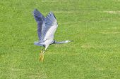 Grey Heron lifting off