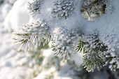 Winter Snowy Pine Christmas Tree Scene. Fir Branches Covered With Hoar Frost Wonderland. Winter Is C poster
