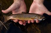 foto of brook trout  - Brook trout or speckled trout Salvelinus fontinalis Algonquin Provincial Park Ontario Canada