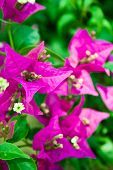Purple Bougainvillea Glabra Chois Flowers