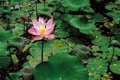Sacred Lotus Flower In Lake. Nelumbo Nucifera poster