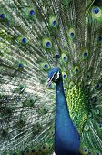 A beautiful peacock portrait with colorful feathers