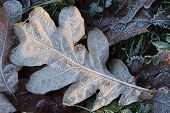 Frosted Oak Leaf Surface Texture. Frost Ice On Forest Morning. Natural Floral Pattern Background. Ma poster