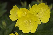 stock photo of primrose  - Closeup of an evening primrose in bloom - JPG