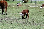 picture of hereford  - Hereford calf in a grass covered pasture - JPG