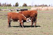 Hereford Cow & Heifer