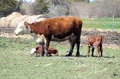 pic of hereford  - Hereford cow standing in a small pasture with a calf lying in the grass near her - JPG