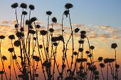 picture of stratus  - Field of plants during dusk with stratus tropical clouds - JPG