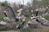 Breeding Brown Pelicans (pelecanus Occidentalis)