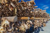 Traditional Drying cod heads drying on traditional wooden racks in Lofoten Islands  Fishing Village  poster