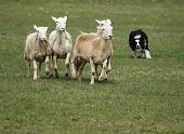 Collie Dog Herding Sheep