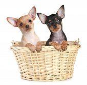 Two Toy Terrier Puppy In Wattled Basket