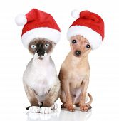 Funny Devon-rex Cat And Toy-terrier In Christmas Hats