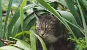 Tabby Cat Hiding In The Grass In The Summer. Cat Lying In A Green Grass On A Summer Meadow. Beautifu poster