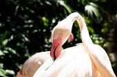 Flamingo Birds In A Zoo. Concept Of Animals In The Zoo. Pattaya Zoo, Thailand. poster