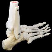 Lado de trás do esqueleto do pé