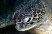 Green turtle (chelonia midas) in the Red Sea.
