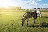 White Spotted Horse . Horses On Stables . Horses In Pasture poster