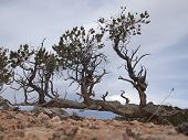 Horizontal Pinyon