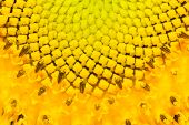The Sunflower In Macro View, The Sunflower Seed Pattern, Macro Flower Leaf In Nature poster