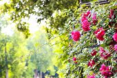 Pink Roses. Beautiful Bush Of Tea Roses On The Sunrise In The Garden. Summer Landscape. Caring For G poster
