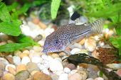 Aquarium fish (corydoras) on sand and plants