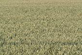 Full Frame Wheat Field