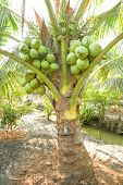 Bunch Of Coconuts On Coconut Tree