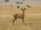 Young gazelle