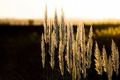 stock photo of pampas grass  - Leaves of grass of the pampa on Sky - JPG