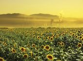 Sunflowers and pollution