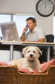 stock photo of people talking phone  - Businessman sat at a desk on the phone with a dog in the foreground in a dog basket - JPG