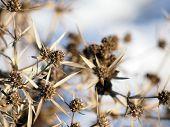 Eryngium Campestre (field Eryngo) Plant In Winter