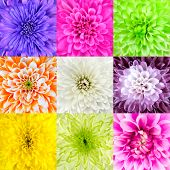 Collection Of Chrysanthemum Flower Macros