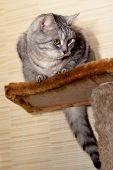 Crey Tabby Cat