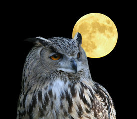 stock photo of owl eyes  - a photo of an owl - JPG
