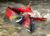 male and female red salmon