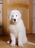 stock photo of laika  - a maremma puppy sitting indoors - JPG