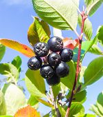 stock photo of chokeberry  - Closeup of uncultivated chokeberries towards blue sky - JPG