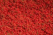 Redcurrant Harvested