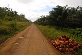 Gravel Road At Oil Palm Plantation