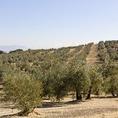 An Olive Grove In Sevilla