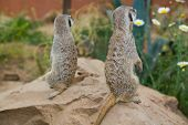 Meerkat And Daisy