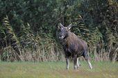 Moose bull peeing