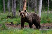 foto of wetland  - Brown bear in the bog in summer