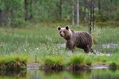 Brown Bear And Water