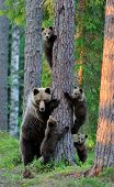 image of bear-cub  - Brown bear with cubs in the forest