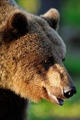 Brown Bear Portrait At Sunset
