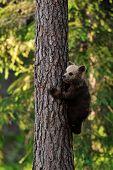 Brown Bear Cub Climbs on tree