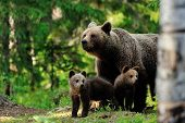Brown Bear With Cubs In The Forest